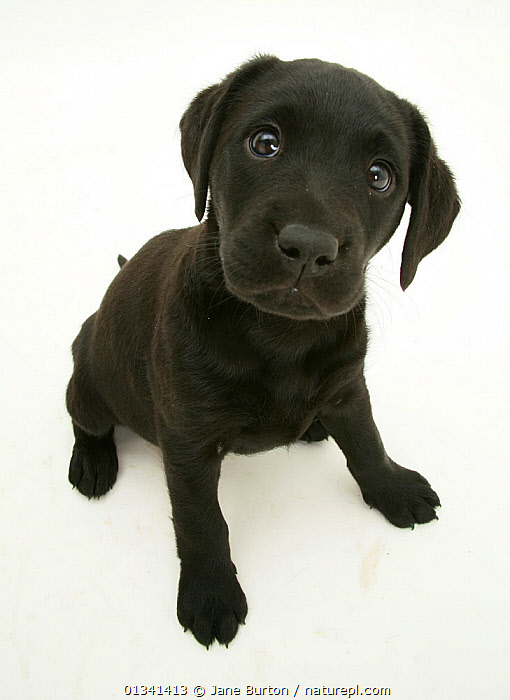 Black Labrador retriever puppy sitting, 8 weeks., BABIES,CANIDS,CUTE,CUTOUT,DOGS,EXPRESSIONS,FACES,GUNDOGS,HEADS,HIGH ANGLE SHOT,LARGE DOGS,LOOKING AT CAMERA,PETS,PORTRAITS,PUPPIES,PUPPY,SITTING,STUDIO,VERTEBRATES,VERTICAL,WHITE,YOUNG,,Cutout,White background,, Jane Burton