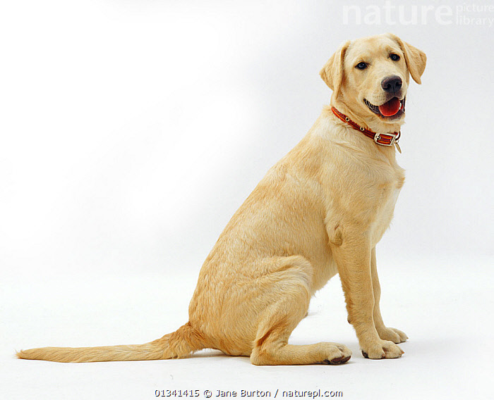 Male Labrador x Golden Retriever puppy, 5 months., BABIES,CANIDS,CUTE,CUTOUT,DOGS,GUNDOGS,JUVENILE,LARGE DOGS,MALES,MIXED BREED,MONGREL,PETS,PORTRAITS,PROFILE,PUPPIES,PUPPY,SITTING,STUDIO,VERTEBRATES,WHITE,YOUNG,,Cutout,White background,, Jane Burton
