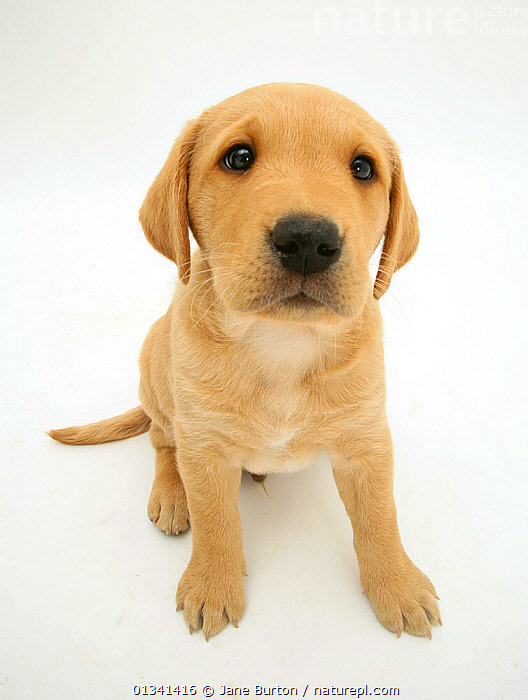 Male yellow Labrador retriever puppy sitting and looking up, 8 weeks., BABIES,CANIDS,CUTE,CUTOUT,DOGS,EXPRESSIONS,FACES,GUNDOGS,HEADS,HIGH ANGLE SHOT,LARGE DOGS,LOOKING AT CAMERA,MALES,PETS,PORTRAITS,PUPPIES,PUPPY,SITTING,STUDIO,VERTEBRATES,VERTICAL,WHITE,YOUNG,,Cutout,White background,, Jane Burton