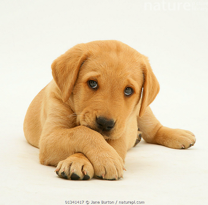 Yellow Labrador retriever puppy lying with paws crossed, 8 weeks., animal theme,BABIES,CANIDS,catalogue4,close up,CUTE,CUTOUT,DOGS,EXPRESSIONS,FACES,gundogs,HEADS,human characteristic,large dogs,looking at camera,lying,Nobody,one animal,paws crossed,PETS,PORTRAITS,puppies,puppy,regret,sadness,Studio,studio shot,VERTEBRATES,WHITE,white background,yellow labrador,YOUNG,young animal, Jane Burton