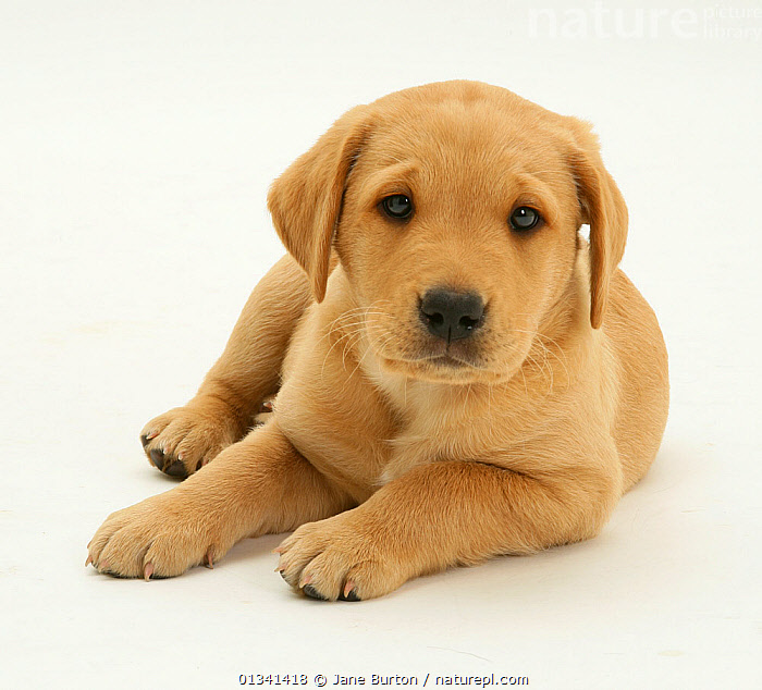 Yellow Labrador puppy lying with head up., BABIES,CANIDS,CUTE,CUTOUT,DOGS,EXPRESSIONS,FACES,GUNDOGS,HEADS,LARGE DOGS,LOOKING AT CAMERA,LYING,PETS,PORTRAITS,PUPPIES,PUPPY,STUDIO,VERTEBRATES,WHITE,YOUNG,,Cutout,White background,, Jane Burton