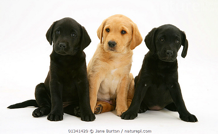 Two Black and one Yellow Labrador Retriever pups, 8 weeks., BABIES,CANIDS,CUTE,CUTOUT,DOGS,FRIENDS,GUNDOGS,LARGE DOGS,PETS,PORTRAITS,PUPPIES,PUPPY,SIBLINGS,SITTING,STUDIO,THREE,VERTEBRATES,WHITE,YOUNG,,Cutout,White background,, Jane Burton