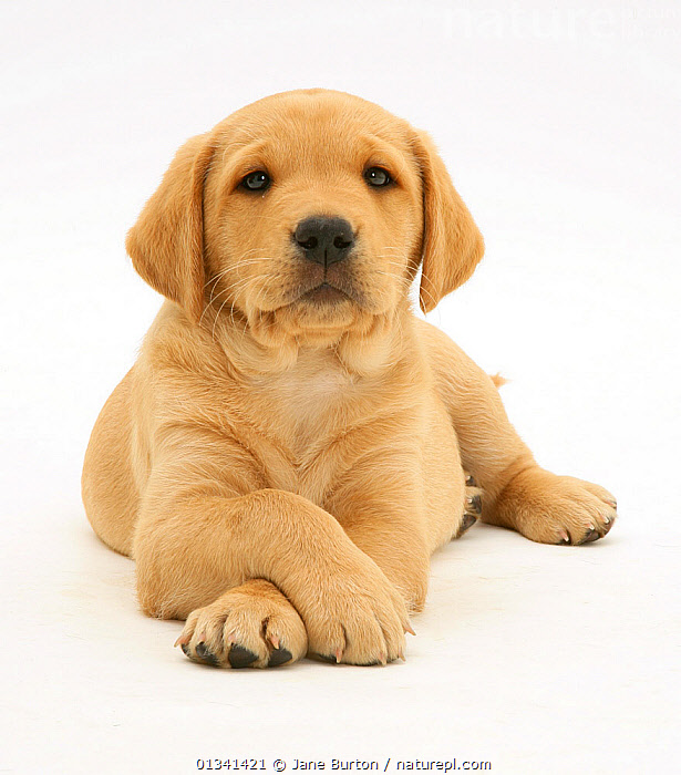 Yellow Labrador Retriever pup, 8 weeks, lying with paws crossed., BABIES,CANIDS,CUTE,CUTOUT,DOGS,EXPRESSIONS,FACES,GUNDOGS,LARGE DOGS,LYING,PETS,PORTRAITS,PUPPIES,PUPPY,STUDIO,VERTEBRATES,WHITE,YOUNG,,Cutout,White background,, Jane Burton