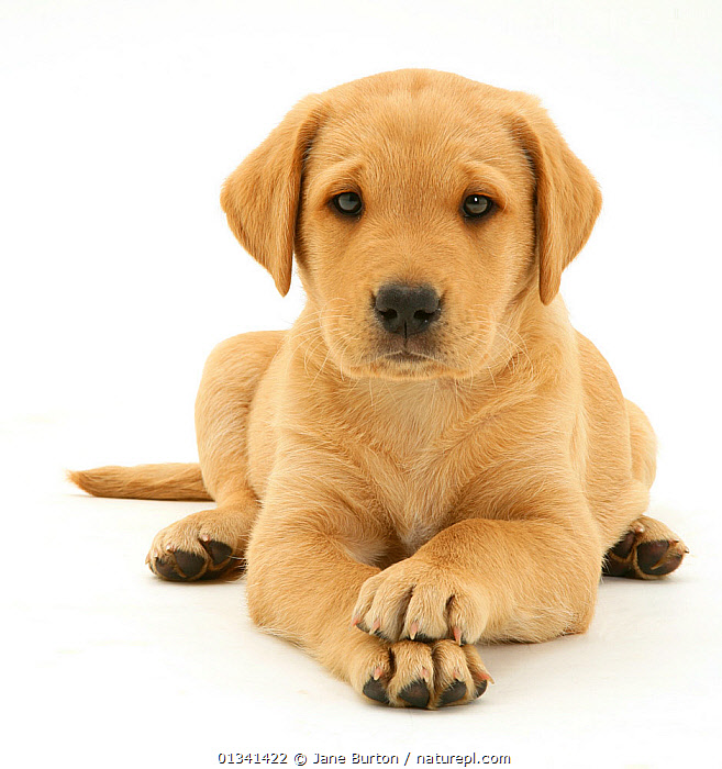 Yellow Labrador Retriever pup, 8 weeks, lying with paws crossed., BABIES,CANIDS,CUTE,CUTOUT,DOGS,EXPRESSIONS,FACES,GUNDOGS,LARGE DOGS,LOOKING AT CAMERA,LYING,PETS,PORTRAITS,PUPPIES,PUPPY,SAD,STUDIO,VERTEBRATES,WHITE,YOUNG,Concepts,,Cutout,White background,, Jane Burton