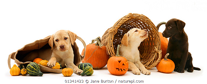 Yellow and Chocolate Retriever puppies with bag, wicker basket, pumpkins and gourds at Halloween., BABIES,CANIDS,CELEBRATIONS,CUTE,CUTOUT,DOGS,GUNDOGS,HALLOWEEN,LARGE DOGS,LYING,PETS,PORTRAITS,PUPPIES,PUPPY,STUDIO,THREE,VERTEBRATES,WHITE,YOUNG,,Cutout,White background,, Jane Burton