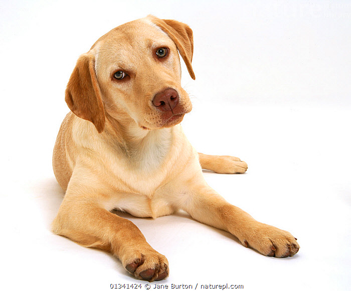 Young yellow Labrador Retriever, 7 months., BABIES,CANIDS,CUTE,CUTOUT,DOGS,GUNDOGS,LARGE DOGS,LOOKING AT CAMERA,LYING,PETS,PORTRAITS,PUPPIES,PUPPY,STUDIO,VERTEBRATES,WHITE,YOUNG,,Cutout,White background,, Jane Burton