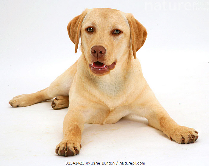 Young yellow Labrador Retriever Millie, 7 months., BABIES,CANIDS,CUTE,CUTOUT,DOGS,GUNDOGS,LARGE DOGS,LOOKING AT CAMERA,LYING,PETS,PORTRAITS,PUPPIES,PUPPY,STUDIO,VERTEBRATES,WHITE,YOUNG,,Cutout,White background,, Jane Burton