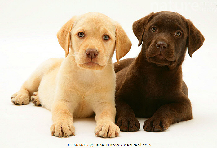 Yellow and Chocolate Retriever puppies., BABIES,CANIDS,CUTE,CUTOUT,DOGS,FRIENDS,GUNDOGS,LARGE DOGS,LOOKING AT CAMERA,LYING,PETS,PORTRAITS,PUPPIES,PUPPY,SIBLINGS,STUDIO,TWO,VERTEBRATES,WHITE,YOUNG,,Cutout,White background,, Jane Burton