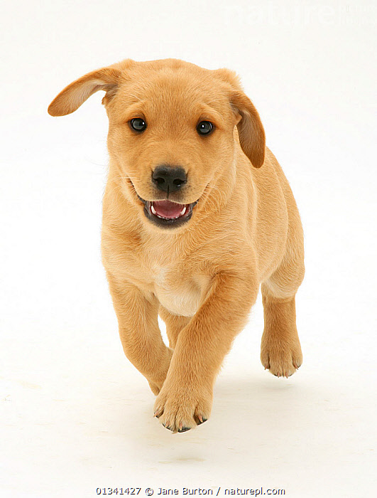 Yellow Labrador Retriever puppy, 8 weeks, running., ACTION,BABIES,CANIDS,CUTE,CUTOUT,DOGS,GUNDOGS,LARGE DOGS,LOOKING AT CAMERA,PETS,PORTRAITS,PUPPIES,PUPPY,RUNNING,SMILING,STUDIO,VERTEBRATES,VERTICAL,WHITE,YOUNG,,Cutout,White background,, Jane Burton