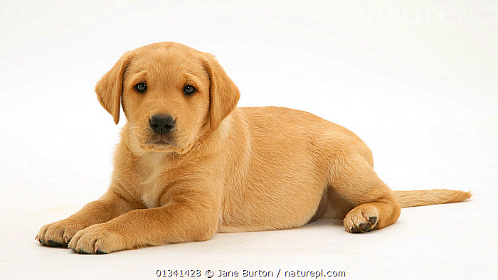 Yellow Labrador Retriever puppy, 8 weeks, lying with head up., BABIES,CANIDS,CUTE,CUTOUT,DOGS,GUNDOGS,LARGE DOGS,LYING,PETS,PORTRAITS,PUPPIES,PUPPY,STUDIO,VERTEBRATES,WHITE,YOUNG,,Cutout,White background,, Jane Burton