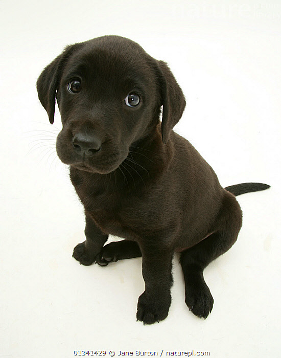 Black Labrador Retriever puppy, 8 weeks., BABIES,CANIDS,CUTE,CUTOUT,DOGS,EXPRESSIONS,GUNDOGS,LARGE DOGS,PETS,PORTRAITS,PUPPIES,PUPPY,SITTING,STUDIO,VERTEBRATES,VERTICAL,WHITE,YOUNG,,Cutout,White background,, Jane Burton