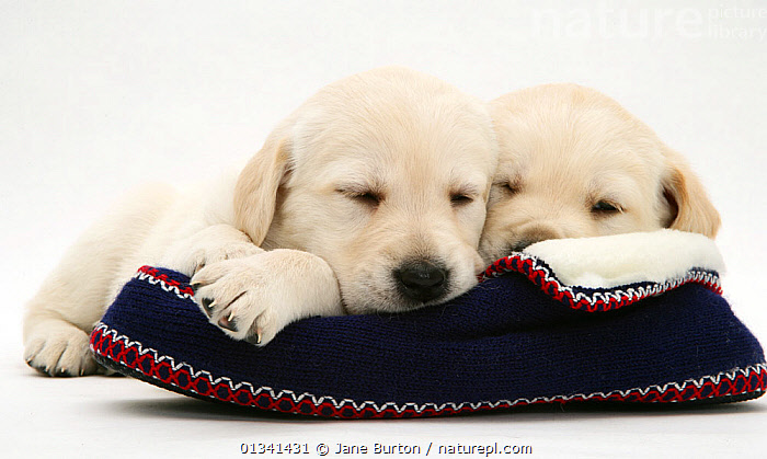 Sleepy Yellow Goldidor puppies on a knitted slipper., BABIES,CANIDS,CUTE,CUTOUT,DOGS,GUNDOGS,LARGE DOGS,PETS,PORTRAITS,PUPPIES,PUPPY,SIBLINGS,SLEEPING,SLIPPERS,STUDIO,TWO,VERTEBRATES,WHITE,YOUNG,,Cutout,White background,, Jane Burton