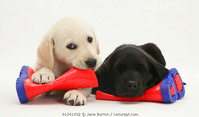 Goldidor Retriever puppies (Golden Retriever x Labrador Retriever) lying on a child's wellington boots., BABIES,CANIDS,CUTE,CUTOUT,DOGS,FRIENDS,GUNDOGS,HUMOROUS,LARGE DOGS,LYING,PETS,PLAY,PLAYING,PORTRAITS,PUPPIES,PUPPY,SIBLINGS,STUDIO,TWO,VERTEBRATES,WHITE,YOUNG,Concepts,Communication,,Cutout,White background,, Jane Burton