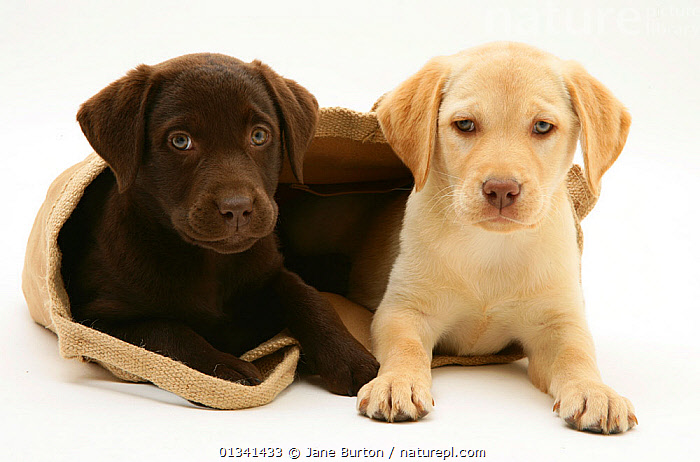 Chocolate and Yellow Retriever puppies in a cloth bag., BABIES,BAGS,CANIDS,CUTE,CUTOUT,DOGS,FRIENDS,GUNDOGS,LARGE DOGS,PETS,PLAY,PLAYING,PORTRAITS,PUPPIES,PUPPY,SIBLINGS,STUDIO,TWO,VERTEBRATES,WHITE,YOUNG,Communication,,Cutout,White background,, Jane Burton