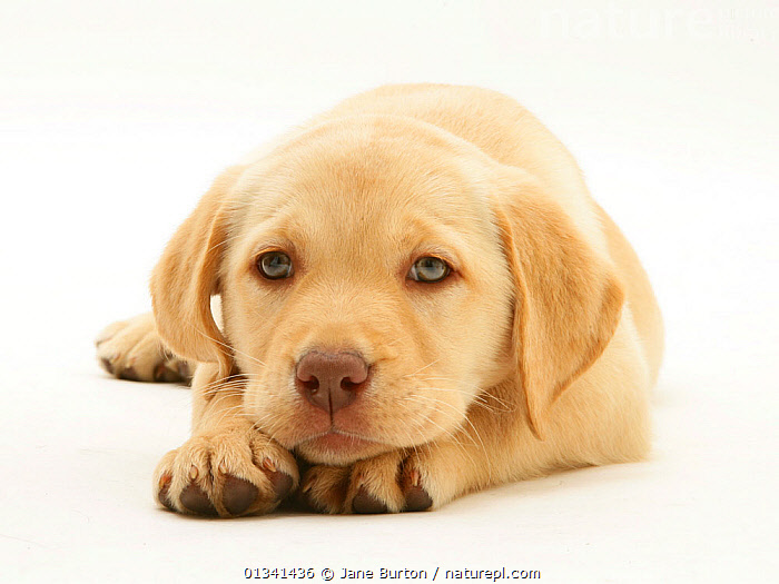 Yellow Labrador Retriever puppy, with chin on paws., BABIES,CANIDS,CUTE,CUTOUT,DOGS,GUNDOGS,LARGE DOGS,LYING,PETS,PORTRAITS,PUPPIES,PUPPY,SAD,STUDIO,VERTEBRATES,WHITE,YOUNG,Concepts,,Cutout,White background,, Jane Burton