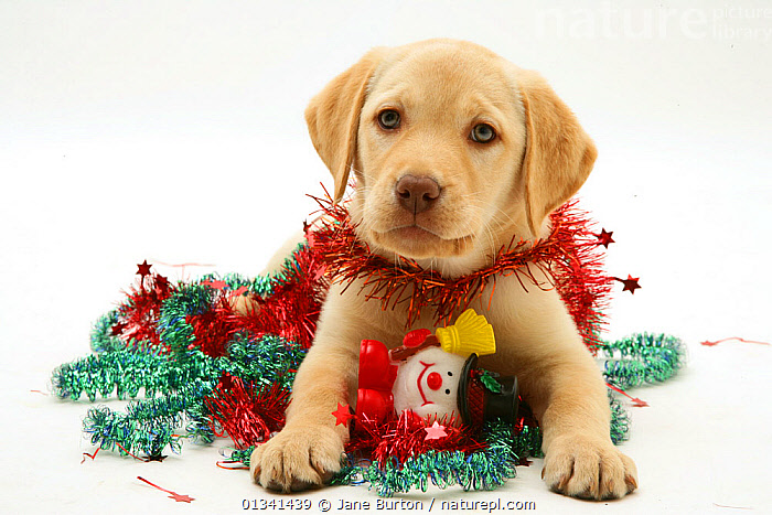 Yellow Labrador Retriever puppy with tinsel., BABIES,CANIDS,CELEBRATIONS,CHRISTMAS,CUTE,CUTOUT,DOGS,GUNDOGS,LARGE DOGS,LYING,PETS,PORTRAITS,PUPPIES,PUPPY,SAD,STUDIO,VERTEBRATES,WHITE,YOUNG,Concepts,,Cutout,White background,, Jane Burton