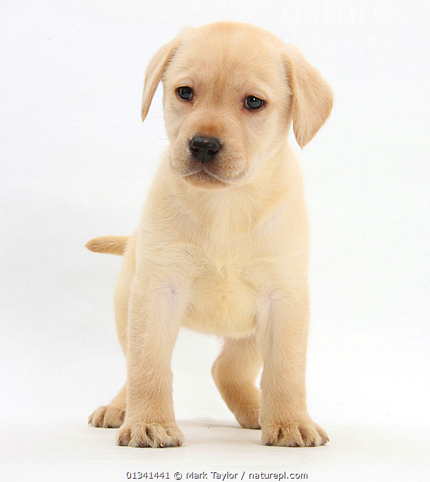 Yellow Labrador Retriever puppy, 7 weeks., BABIES,CANIDS,CUTE,CUTOUT,DOGS,GUNDOGS,LARGE DOGS,PETS,PORTRAITS,PUPPIES,PUPPY,STANDING,STUDIO,VERTEBRATES,WHITE,YOUNG,,cutout,white background,, Mark Taylor