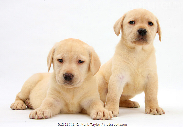 Yellow Labrador Retriever puppies, 7 weeks., BABIES,CANIDS,CUTE,CUTOUT,DOGS,FRIENDS,GUNDOGS,LARGE DOGS,LOOKING AT CAMERA,LYING,PETS,PORTRAITS,PUPPIES,PUPPY,SIBLINGS,SITTING,STUDIO,TWO,VERTEBRATES,WHITE,YOUNG,,cutout,white background,, Mark Taylor