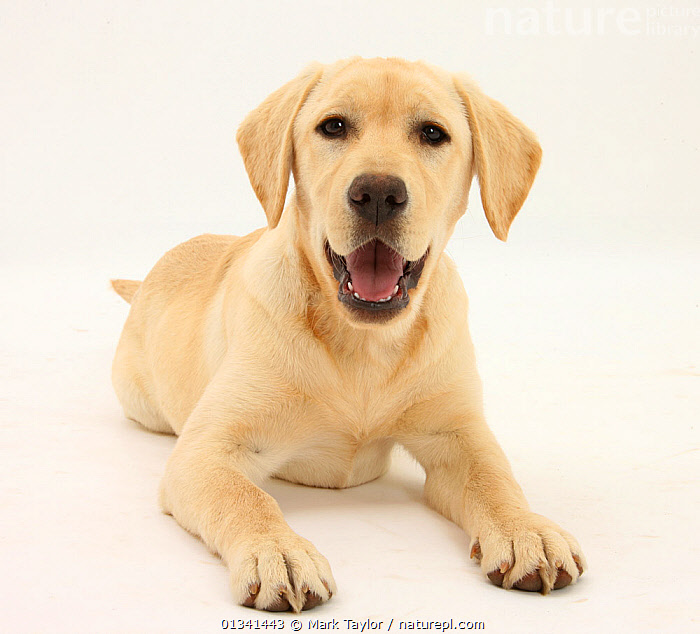 Yellow Labrador Retriever puppy, 5 months., BABIES,CANIDS,CUTE,CUTOUT,DOGS,GUNDOGS,LARGE DOGS,LOOKING AT CAMERA,LYING,PETS,PORTRAITS,PUPPIES,PUPPY,STUDIO,VERTEBRATES,WHITE,YOUNG,,cutout,white background,, Mark Taylor