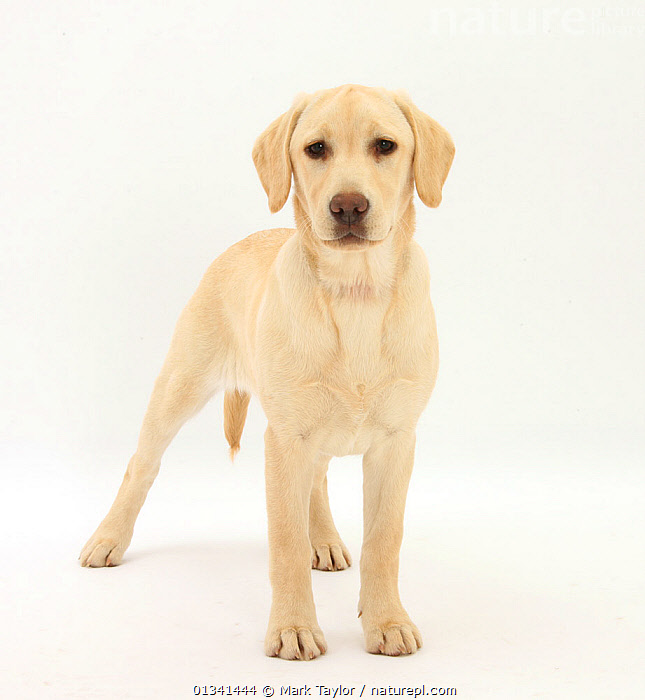 Yellow Labrador puppy, 5 months, standing., BABIES,CANIDS,CUTE,CUTOUT,DOGS,GUNDOGS,LARGE DOGS,LOOKING AT CAMERA,PETS,PORTRAITS,PUPPIES,PUPPY,STANDING,STUDIO,VERTEBRATES,WHITE,YOUNG,,cutout,white background,, Mark Taylor