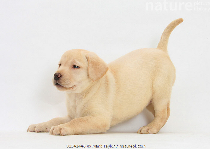 Yellow Labrador puppy, 7 weeks, in play-bow., BABIES,CANIDS,CUTE,CUTOUT,DOGS,GUNDOGS,LARGE DOGS,PALY,PETS,PLAYING,PORTRAITS,PUPPIES,PUPPY,STUDIO,VERTEBRATES,WHITE,YOUNG,,cutout,white background,, Mark Taylor