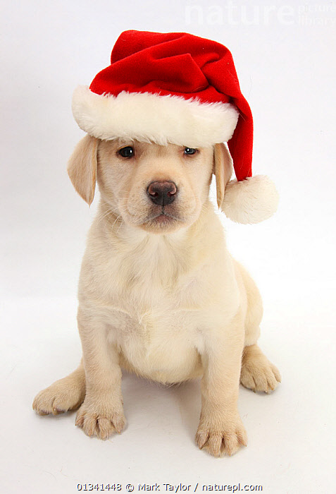 Yellow Labrador Retriever puppy, 7 weeks, wearing a Father Christmas hat., BABIES,CANIDS,CELEBRATIONS,CHRISTMAS,CUTE,CUTOUT,DOGS,GUNDOGS,HUMOROUS,LARGE DOGS,LOOKING AT CAMERA,PETS,PORTRAITS,PUPPIES,PUPPY,SITTING,STUDIO,VERTEBRATES,VERTICAL,WHITE,YOUNG,Concepts,,cutout,white background,, Mark Taylor