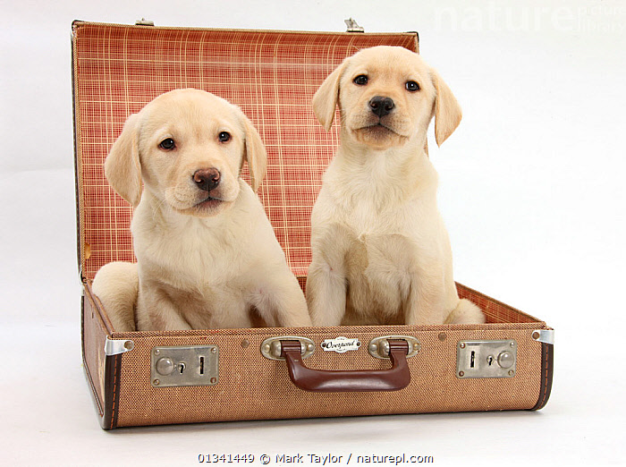 Yellow Labrador Retriever puppies, 8 weeks, sitting in a suitcase., BABIES,CANIDS,CUTE,CUTOUT,DOGS,FRIENDS,GUNDOGS,HOLIDAYS,LARGE DOGS,PETS,PORTRAITS,PUPPIES,PUPPY,SIBLINGS,SITTING,STUDIO,TWO,VERTEBRATES,WHITE,YOUNG,Concepts,,cutout,white background,, Mark Taylor