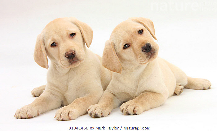 Yellow Labrador Retriever puppies, 9 weeks., BABIES,CANIDS,CUTE,CUTOUT,DOGS,FRIENDS,GUNDOGS,LARGE DOGS,LYING,PETS,PORTRAITS,PUPPIES,PUPPY,SIBLINGS,STUDIO,TWO,VERTEBRATES,WHITE,YOUNG,,cutout,white background,, Mark Taylor