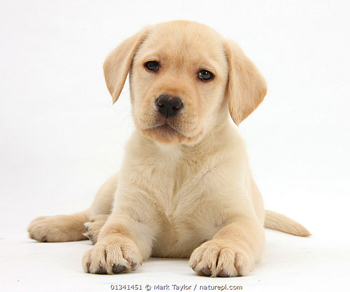 Yellow Labrador Retriever puppy, 8 weeks., BABIES,CANIDS,CUTE,CUTOUT,DOGS,GUNDOGS,LARGE DOGS,LOOKING AT CAMERA,LYING,PETS,PORTRAITS,PUPPIES,PUPPY,STUDIO,VERTEBRATES,WHITE,YOUNG,,cutout,white background,, Mark Taylor