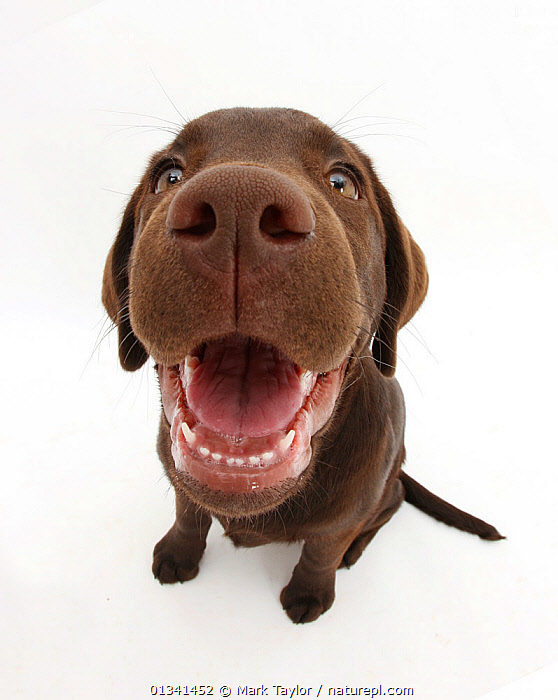 Chocolate Labrador puppy, Inca, looking up, nose close-up, BABIES,BROWN,CANIDS,CUTE,CUTOUT,DOGS,FACES,GUNDOGS,LARGE DOGS,LOOKING AT CAMERA,NOSES,PETS,PORTRAITS,PUPPIES,PUPPY,SENSES,SITTING,STUDIO,VERTEBRATES,VERTICAL,WHITE,WIDE ANGLE SHOTS,YOUNG,,cutout,white background,, Mark Taylor