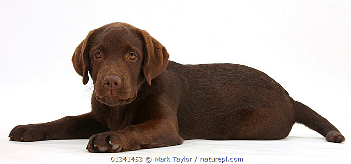 Chocolate Labrador puppy, Inca, lying with her head up., BABIES,BROWN,CANIDS,CUTE,CUTOUT,DOGS,GUNDOGS,LARGE DOGS,LYING,PANORAMIC,PETS,PORTRAITS,PUPPIES,PUPPY,STUDIO,VERTEBRATES,WHITE,YOUNG,,cutout,white background,, Mark Taylor