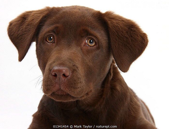 Chocolate Labrador puppy head portrait, 3 months., BABIES,BROWN,CANIDS,CUTE,CUTOUT,DOGS,EXPRESSIONS,FACES,GUNDOGS,HEADS,LARGE DOGS,LOOKING AT CAMERA,PETS,PORTRAITS,PUPPIES,PUPPY,SAD,STUDIO,VERTEBRATES,WHITE,YOUNG,Concepts,,cutout,white background,, Mark Taylor