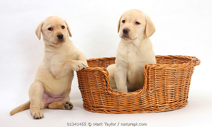 Yellow Labrador Retriever puppies, 7 weeks, in a wicker dog basket., BABIES,BASKETS,CANIDS,CUTE,CUTOUT,DOGS,FRIENDS,GUNDOGS,LARGE DOGS,PETS,PORTRAITS,PUPPIES,PUPPY,SIBLINGS,SITTING,STUDIO,TWO,VERTEBRATES,WHITE,YOUNG,,cutout,white background,, Mark Taylor