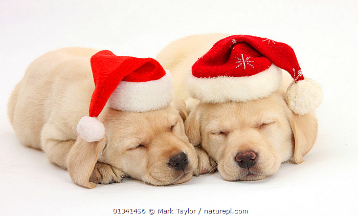 Sleeping Yellow Labrador Retriever puppies, 8 weeks, wearing Father Christmas hats., BABIES,CANIDS,CELEBRATIONS,CHRISTMAS,CUTE,CUTOUT,DOGS,FRIENDS,GUNDOGS,HATS,LARGE DOGS,LYING,PETS,PORTRAITS,PUPPIES,PUPPY,SIBLINGS,SLEEPING,STUDIO,TWO,VERTEBRATES,WHITE,YOUNG,,cutout,white background,, Mark Taylor