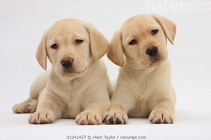 Yellow Labrador Retriever puppies, 8 weeks.  *Restricted Use - exclusive for greetings cards and calendars in Europe until 2015*, BABIES,CANIDS,CUTE,CUTOUT,DOGS,FRIENDS,GUNDOGS,LARGE DOGS,LOOKING AT CAMERA,LYING,PETS,PORTRAITS,PUPPIES,PUPPY,SIBLINGS,STUDIO,TWO,VERTEBRATES,WHITE,YOUNG,,cutout,white background,, Mark Taylor