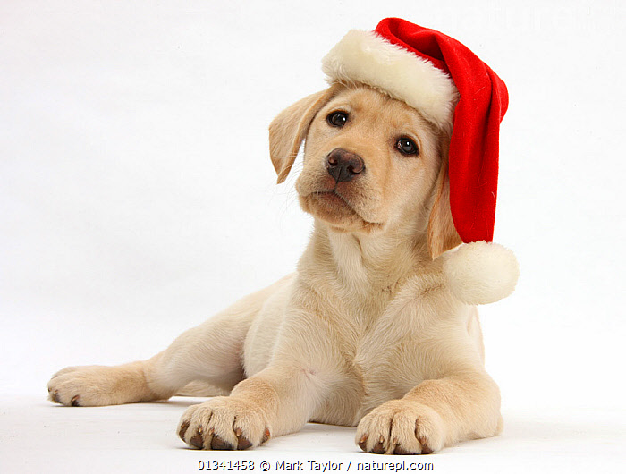 Yellow Labrador Retriever bitch puppy, 10 weeks, wearing a Father Christmas hat., BABIES,CANIDS,CELEBRATIONS,CHRISTMAS,CUTE,CUTOUT,DOGS,GUNDOGS,HATS,LARGE DOGS,LYING,PETS,PORTRAITS,PUPPIES,PUPPY,STUDIO,VERTEBRATES,WHITE,YOUNG,,cutout,white background,, Mark Taylor