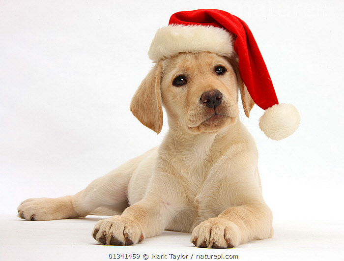 Yellow Labrador Retriever bitch puppy, 10 weeks, wearing a Father Christmas hat., BABIES,CANIDS,CELEBRATIONS,CHRISTMAS,CUTE,CUTOUT,DOGS,GUNDOGS,LARGE DOGS,LYING,PETS,PORTRAITS,PUPPIES,PUPPY,STUDIO,VERTEBRATES,WHITE,YOUNG,,cutout,white background,, Mark Taylor