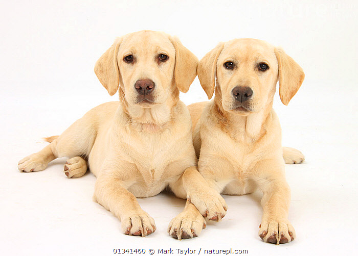 Yellow Labrador Retriever puppies, 5 months, lying side by side., AFFECTIONATE,BABIES,CANIDS,CUTE,CUTOUT,DOGS,FRIENDS,GUNDOGS,LARGE DOGS,LOOKING AT CAMERA,LYING,PETS,PORTRAITS,PUPPIES,PUPPY,SIBLINGS,STUDIO,TWO,VERTEBRATES,WHITE,YOUNG,,cutout,white background,, Mark Taylor