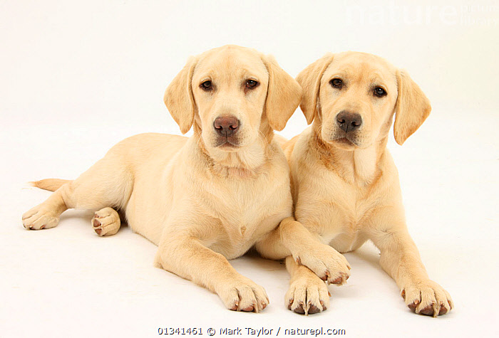 Yellow Labrador Retriever puppies, 5 months, lying side by side., BABIES,CANIDS,CUTE,CUTOUT,DOGS,FRIENDS,GUNDOGS,LARGE DOGS,LOOKING AT CAMERA,LYING,PETS,PORTRAITS,PUPPIES,PUPPY,SIBLINGS,STUDIO,TWO,VERTEBRATES,WHITE,YOUNG,,cutout,white background,, Mark Taylor