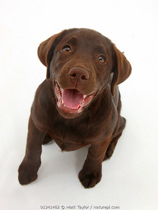 Chocolate Labrador puppy looking up, into the camera., BABIES,BROWN,CANIDS,CUTE,CUTOUT,DOGS,FACES,GUNDOGS,HEADS,LARGE DOGS,LOOKING AT CAMERA,PETS,PORTRAITS,PUPPIES,PUPPY,SITTING,SMILING,STUDIO,VERTEBRATES,VERTICAL,WHITE,YOUNG,,cutout,white background,, Mark Taylor
