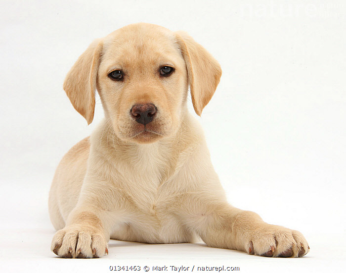 Yellow Labrador Retriever puppy, 10 weeks., BABIES,CANIDS,CUTE,CUTOUT,DOGS,GUNDOGS,LARGE DOGS,LOOKING AT CAMERA,LYING,PETS,PORTRAITS,PUPPIES,PUPPY,STUDIO,VERTEBRATES,WHITE,YOUNG,,cutout,white background,, Mark Taylor