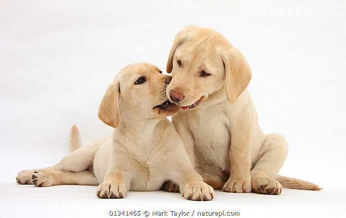 Yellow Labrador Retriever puppies, 10 weeks., AFFECTIONATE,BABIES,CANIDS,CUTE,CUTOUT,DOGS,FRIENDS,GUNDOGS,KISSING,LARGE DOGS,LYING,PETS,PORTRAITS,PUPPIES,PUPPY,SIBLINGS,STUDIO,TWO,VERTEBRATES,WHITE,YOUNG,,cutout,white background,, Mark Taylor