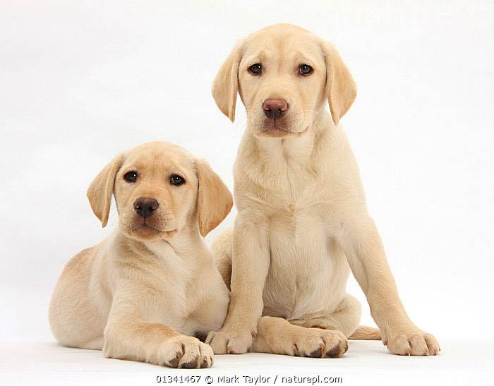 Yellow Labrador Retriever puppies, 10 weeks., BABIES,CANIDS,CUTE,CUTOUT,DOGS,FRIENDS,GUNDOGS,LARGE DOGS,LOOKING AT CAMERA,LYING,PETS,PORTRAITS,PUPPIES,PUPPY,SIBLINGS,STUDIO,TWO,VERTEBRATES,WHITE,YOUNG,,cutout,white background,, Mark Taylor