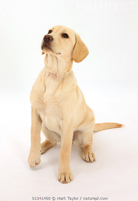 Yellow Labrador Retriever puppy, 5 months, sitting, looking up., BABIES,CANIDS,CUTE,CUTOUT,DOGS,GUNDOGS,LARGE DOGS,PETS,PORTRAITS,PUPPIES,PUPPY,SITTING,STUDIO,VERTEBRATES,VERTICAL,WHITE,YOUNG,,cutout,white background,, Mark Taylor