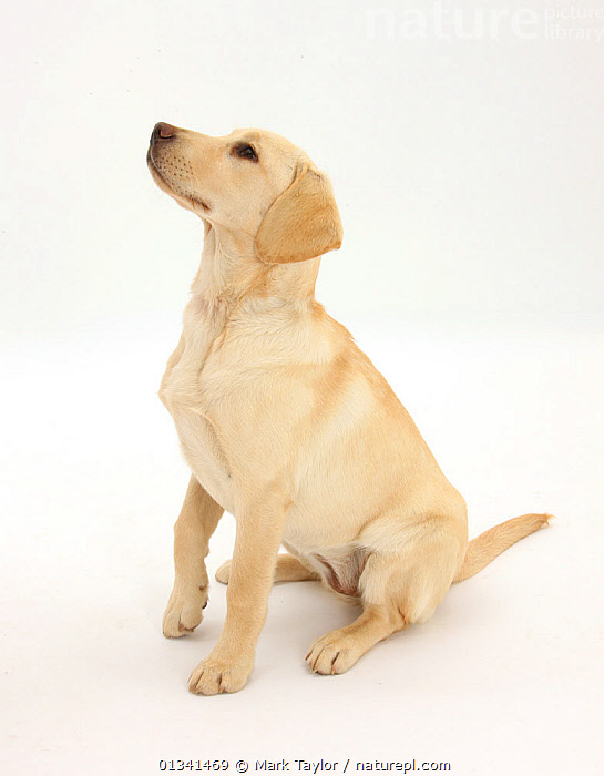 Yellow Labrador Retriever pup, 5 months, sitting, looking up., BABIES,CANIDS,CUTE,CUTOUT,DOGS,GUNDOGS,LARGE DOGS,OBEDIENCE,PETS,PORTRAITS,PROFILE,PUPPIES,PUPPY,SITTING,STUDIO,VERTEBRATES,VERTICAL,WHITE,YOUNG,,cutout,white background,, Mark Taylor