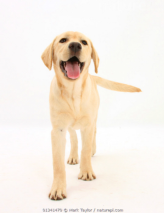 Yellow Labrador Retriever puppy, 5 months, standing., BABIES,CANIDS,CUTE,CUTOUT,DOGS,GUNDOGS,LARGE DOGS,LOOKING AT CAMERA,PETS,PORTRAITS,PUPPIES,PUPPY,SMILING,STANDING,STUDIO,VERTEBRATES,VERTICAL,WHITE,YOUNG,,cutout,white background,, Mark Taylor