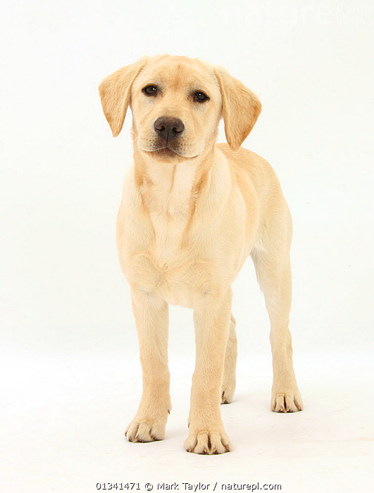 Yellow Labrador Retriever puppy, 5 months, standing., BABIES,CANIDS,CUTE,CUTOUT,DOGS,GUNDOGS,LARGE DOGS,LOOKING AT CAMERA,PETS,PORTRAITS,PUPPIES,PUPPY,STANDING,STUDIO,VERTEBRATES,VERTICAL,WHITE,YOUNG,,cutout,white background,, Mark Taylor