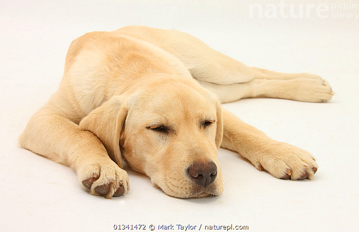 Sleepy Yellow Labrador puppy, 5 months., BABIES,CANIDS,CUTE,CUTOUT,DOGS,GUNDOGS,LARGE DOGS,LYING,PETS,PORTRAITS,PUPPIES,PUPPY,SLEEPING,STUDIO,VERTEBRATES,WHITE,YOUNG,,cutout,white background,, Mark Taylor
