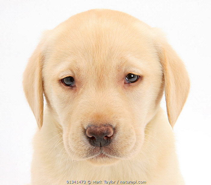 Yellow Labrador Retriever puppy, 7 weeks., animal head,animal portrait,BABIES,CANIDS,catalogue4,close up,CUTE,CUTOUT,DOGS,EXPRESSIONS,gundogs,HEADS,large dogs,looking at camera,Nobody,one animal,PETS,PORTRAITS,puppies,puppy,regret,SAD,sadness,Studio,studio shot,VERTEBRATES,WHITE,white background,yellow labrador,YOUNG,young animal,Concepts, Mark Taylor