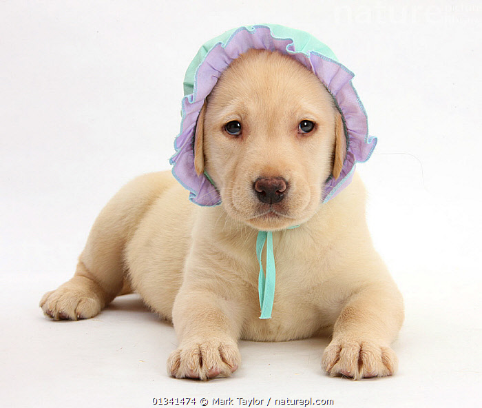 Yellow Labrador Retriever puppy, 7 weeks, wearing a baby's bonnet., BABIES,CANIDS,CUTE,CUTOUT,DOGS,GUNDOGS,HUMOROUS,LARGE DOGS,LOOKING AT CAMERA,LYING,PETS,PORTRAITS,PUPPIES,PUPPY,STUDIO,VERTEBRATES,WHITE,YOUNG,Concepts,,cutout,white background,, Mark Taylor